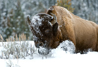 Bison - Back from the Brink
