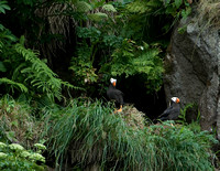 On the Edge II - Tufted Puffins
