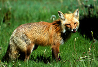 Success - Red Fox