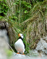 Perching Puffin I