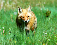 On the Hunt - Red Fox