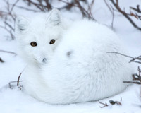 Settling In - Arctic Fox