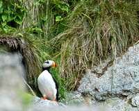 Perching Puffin V