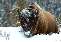 Silent March II - Bison