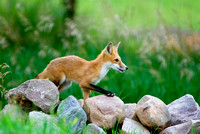 King of the Hill - Red Fox