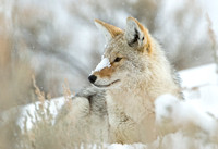 Winter Respite II - Coyote