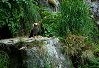 On the Edge III - Tufted Puffin