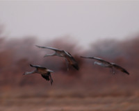 Dropping In - Sandhill Cranes