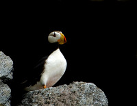 Horned Puffin III