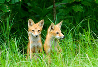 Red Fox Kits I