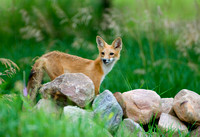 King of the Hill II - Red Fox