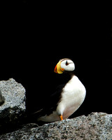 Horned Puffin I
