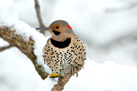 All Dressed Up I - Northern Flicker