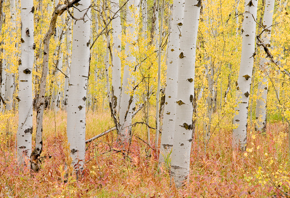 Aspens in Fall