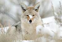 Winter Respite I - Coyote