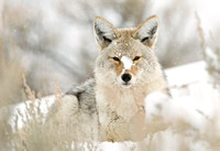 Winter Respite III - Coyote