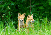 Red Fox Kits II